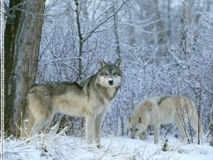 Winter-Land-Wolves